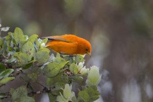 Hakalau Forest NWR Birding Adventure