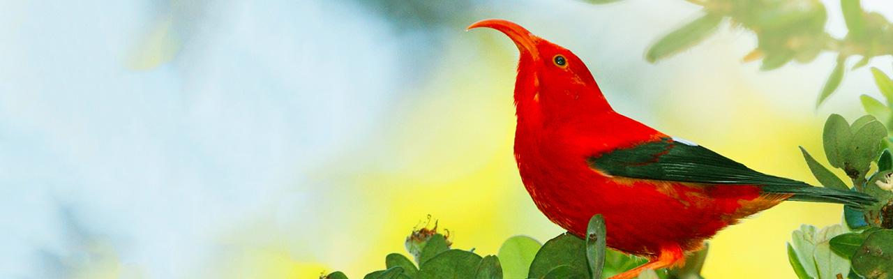 Native Hawaii Iiwi bird