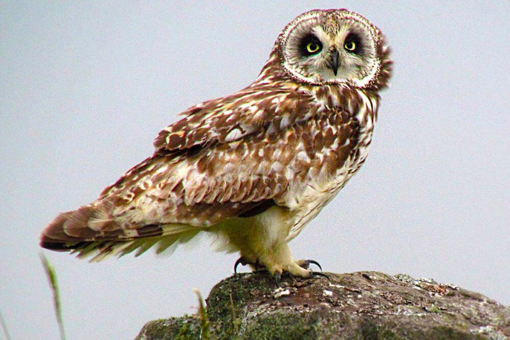 Owl as seen on the Leeward Birding Field Trip