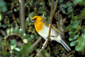 Native Hawaiian bird in the Mauna Kea Dry Forest