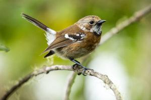 Native Hawaii bird