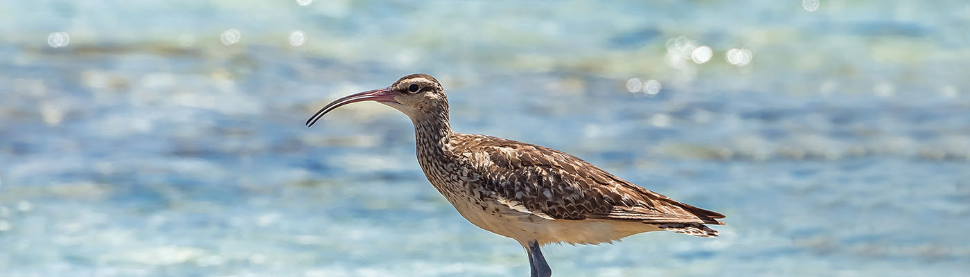 bristle-thighed curlew standing on lava rock